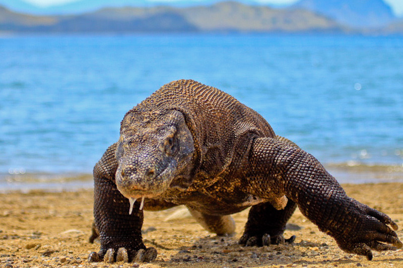 See Komodo dragons in Indonesia