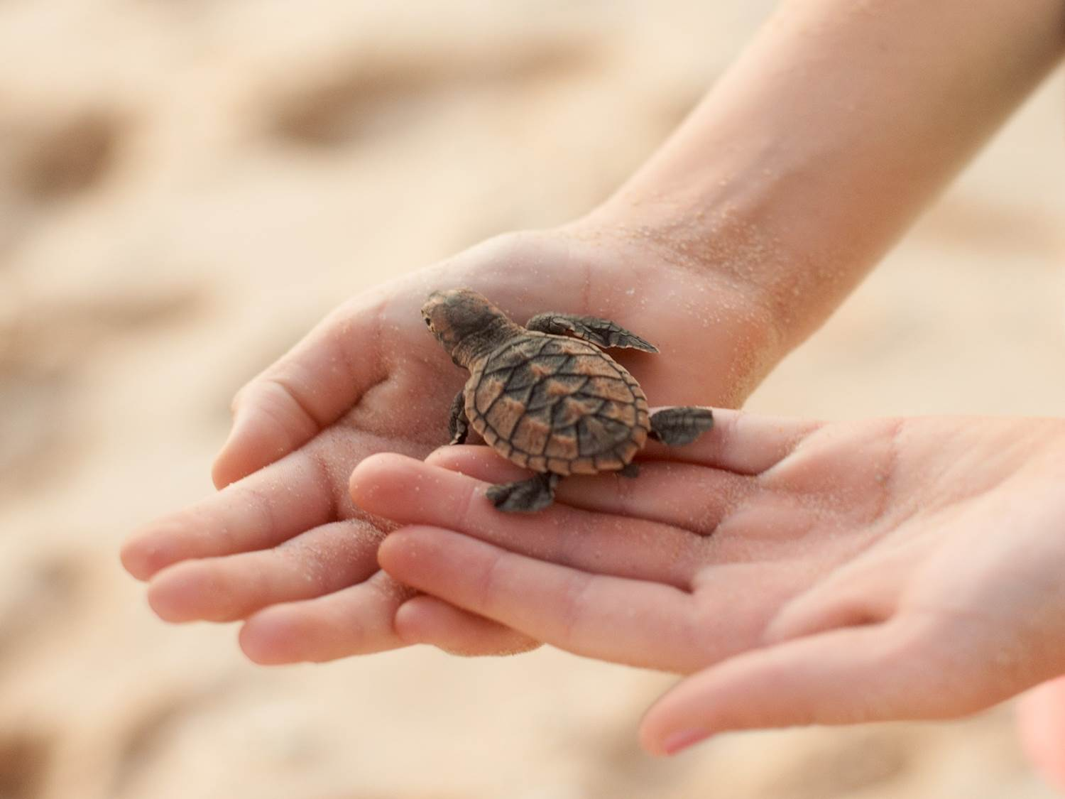 Turtle Care Project in Oman