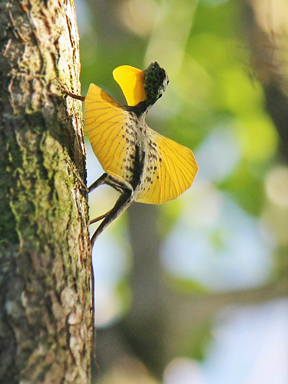 Book a thailand holiday with Kenwood travel and see a flying draco lizard