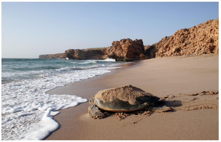 Oman's beaches attract wildlife as well as sunseekers