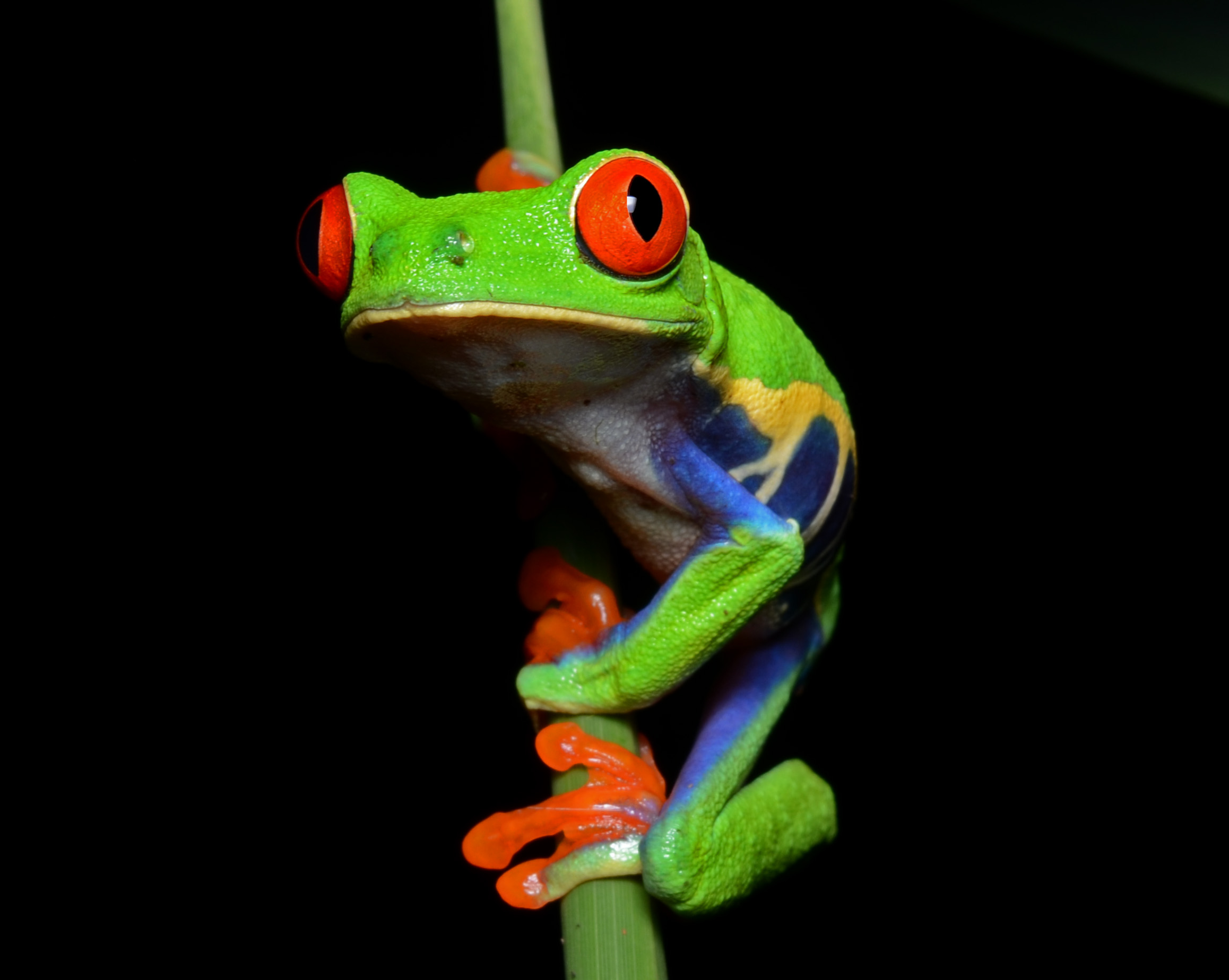 The iconic red eyed tree frog