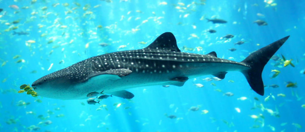 Yucatan Whale Sharks