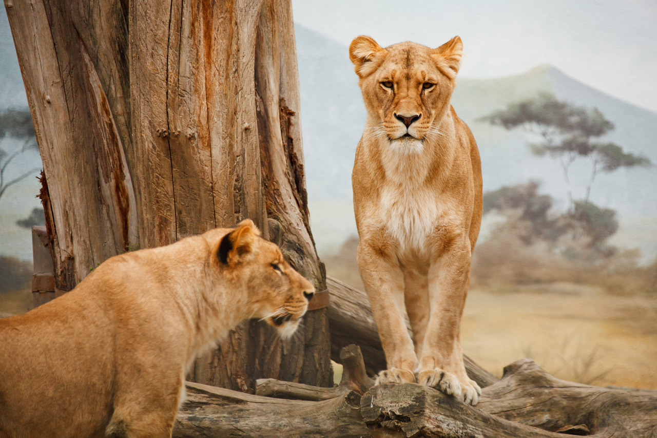 See Lions in South Africa on a Kenwood Travel holiday